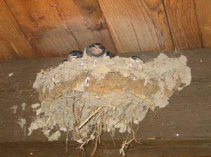 swallows_nest